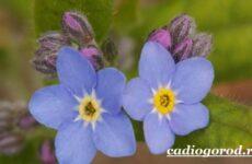 Незабудка цветок. Выращивание незабудок. Уход за незабудками