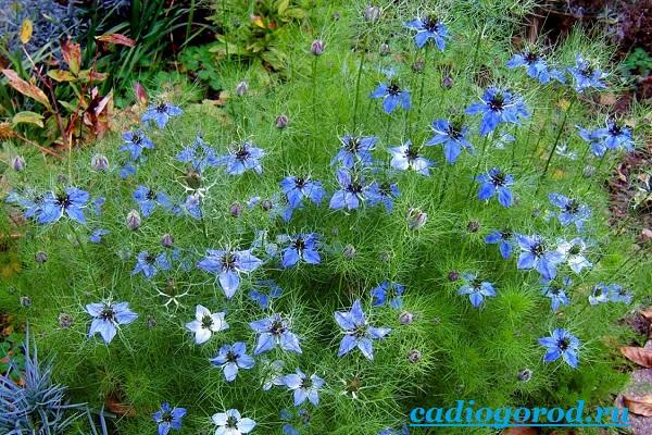 Нигелла-цветок-Описание-особенности-виды-и-уход-за-нигеллой-1