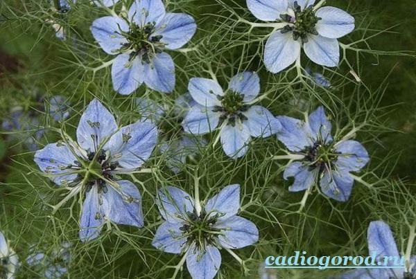 Нигелла-цветок-Описание-особенности-виды-и-уход-за-нигеллой-3