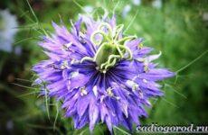 Нигелла цветок. Описание, особенности, виды и уход за нигеллой