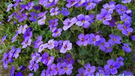 Обриета цветок. Описание, особенности, виды и уход за обриетой