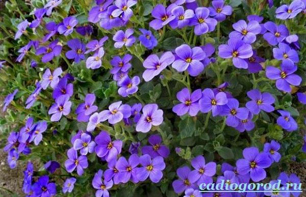 Обриета-цветок-Описание-особенности-виды-и-уход-за-обриетой-1