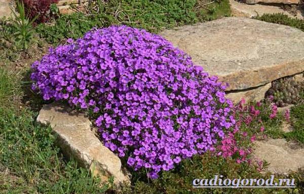 Обриета-цветок-Описание-особенности-виды-и-уход-за-обриетой-10