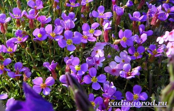Обриета-цветок-Описание-особенности-виды-и-уход-за-обриетой-3