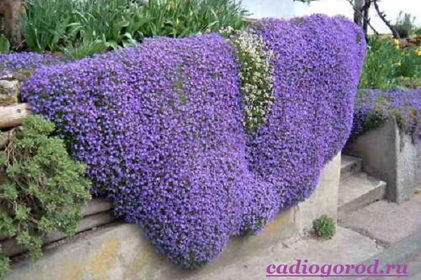 Обриета-цветок-Описание-особенности-виды-и-уход-за-обриетой-5