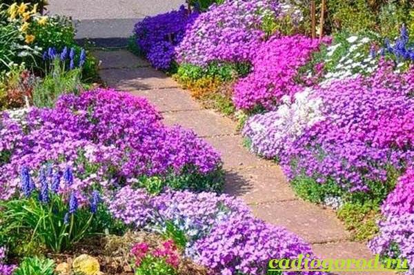 Обриета-цветок-Описание-особенности-виды-и-уход-за-обриетой-6