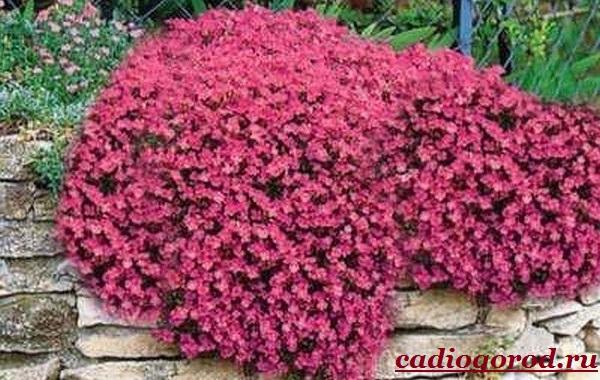 Обриета-цветок-Описание-особенности-виды-и-уход-за-обриетой