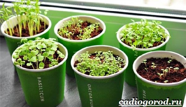 Орегано-растение-Описание-особенности-виды-и-уход-за-орегано-14
