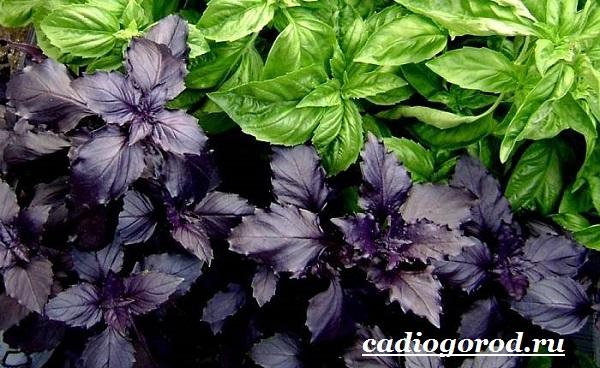 Орегано-растение-Описание-особенности-виды-и-уход-за-орегано-5