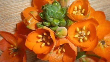 Орнитогалум цветок. Описание, особенности, виды и уход за орнитогалумом