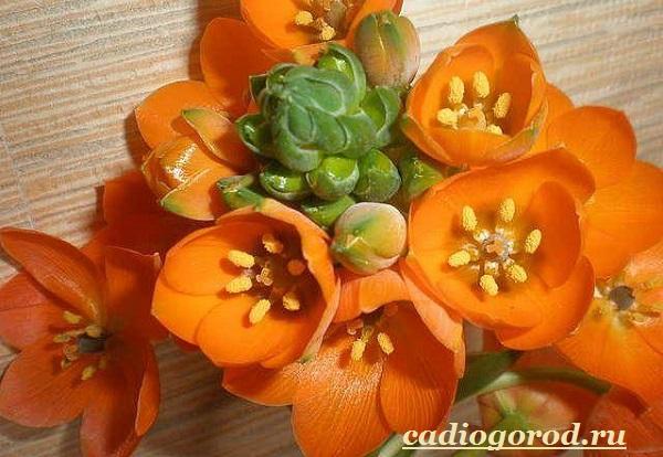 Орнитогалум-цветок-Описание-особенности-виды-и-уход-за-орнитогалумом-4