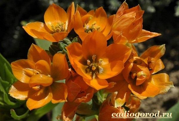 Орнитогалум-цветок-Описание-особенности-виды-и-уход-за-орнитогалумом-6