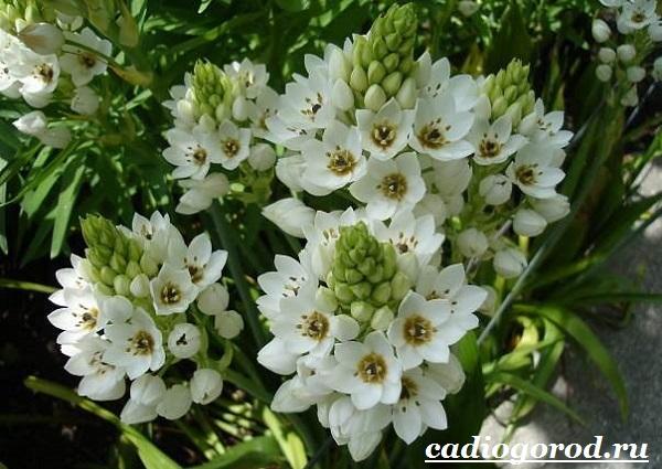Орнитогалум-цветок-Описание-особенности-виды-и-уход-за-орнитогалумом-8