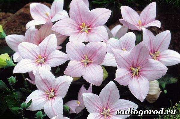 Платикодон цветок. Описание, особенности, виды и уход за платикодоном-1