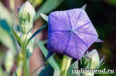 Платикодон цветок. Описание, особенности, виды и уход за платикодоном