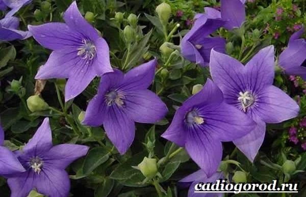 Платикодон цветок. Описание, особенности, виды и уход за платикодоном-7