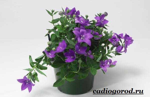 Платикодон цветок. Описание, особенности, виды и уход за платикодоном-9