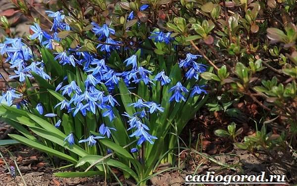 Пролески-цветы-Описание-особенности-виды-и-уход-за-пролесками-10