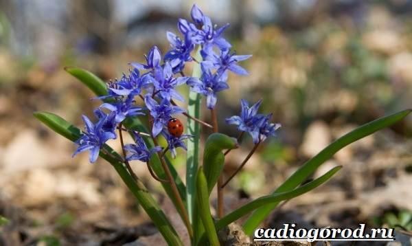 Пролески-цветы-Описание-особенности-виды-и-уход-за-пролесками-11
