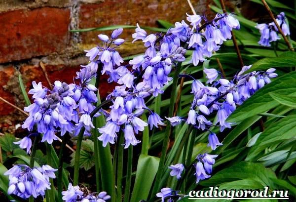 Пролески-цветы-Описание-особенности-виды-и-уход-за-пролесками-15