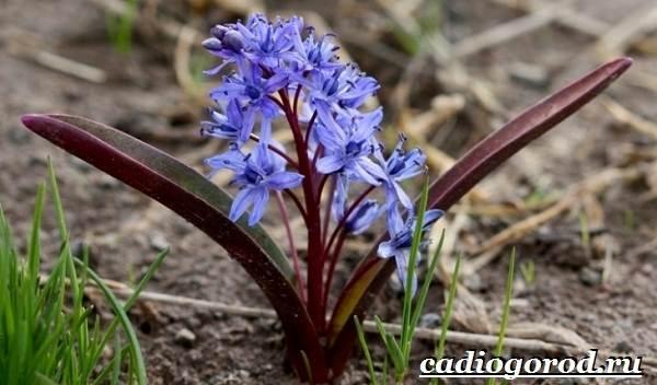 Пролески-цветы-Описание-особенности-виды-и-уход-за-пролесками-17