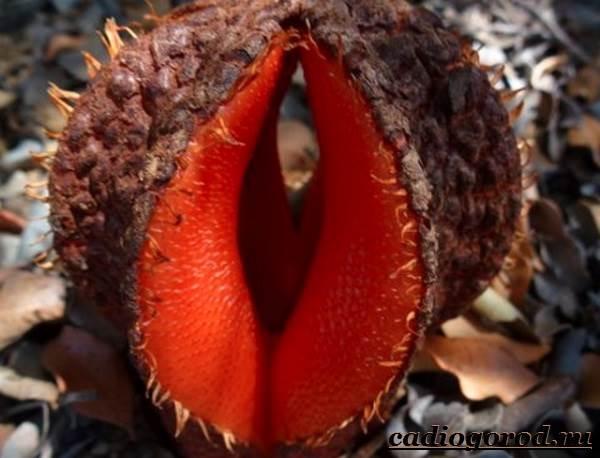 Раффлезия-цветок-Выращивание-раффлезии-Виды-и-уход-за-раффлезией-10