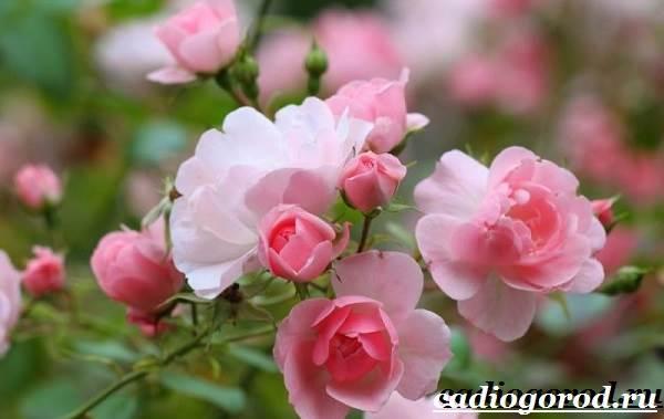 Роза комнатная. Описание, особенности, виды и уход за комнатной розой
