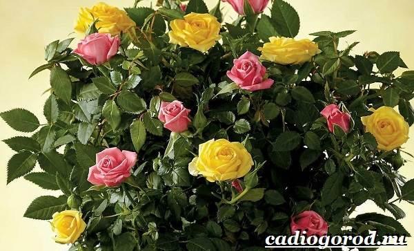 Роза-комнатная-Описание-особенности-виды-и-уход-за-комнатной-розой-22