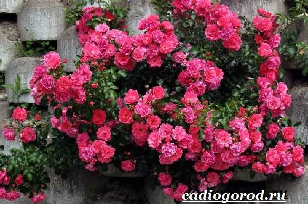 Роза-комнатная-Описание-особенности-виды-и-уход-за-комнатной-розой-23
