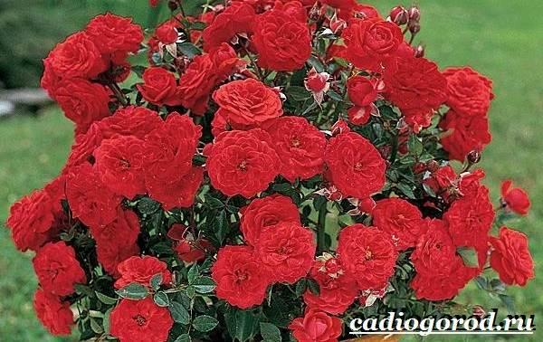 Роза-комнатная-Описание-особенности-виды-и-уход-за-комнатной-розой-24