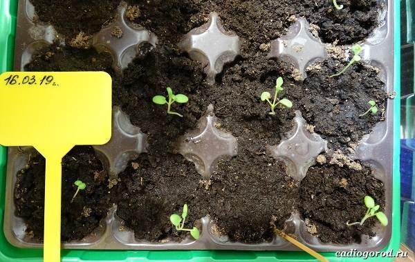Розмарин-растение-Описание-особенности-виды-и-выращивание-4