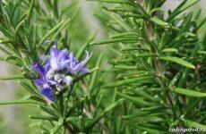 Розмарин растение. Описание, особенности, виды и выращивание