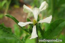 Руккола растение. Выращивание рукколы. Виды и уход за рукколой