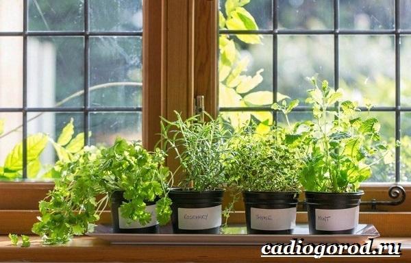 Руккола-растение-Выращивание-рукколы-Виды-и-уход-за-рукколой-13