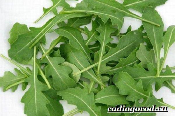 Руккола-растение-Выращивание-рукколы-Виды-и-уход-за-рукколой-4