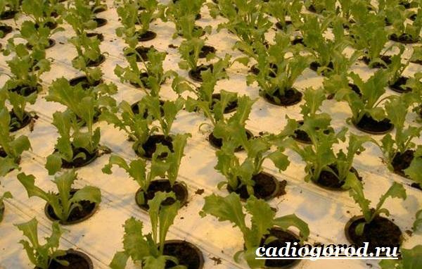 Руккола-растение-Выращивание-рукколы-Виды-и-уход-за-рукколой-9