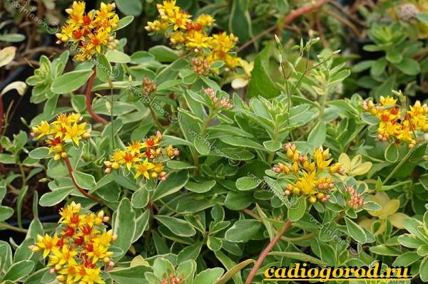 Седум-цветок-Описание-особенности-виды-и-уход-за-седумом-1