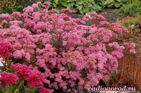 Седум-цветок-Описание-особенности-виды-и-уход-за-седумом-3