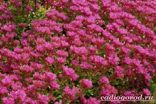 Седум-цветок-Описание-особенности-виды-и-уход-за-седумом-8