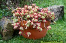 Седум цветок. Описание, особенности, виды и уход за седумом