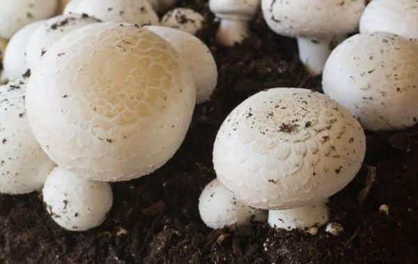 Шампиньоны-грибы-Выращивание-уход-и-полезные-свойства-5