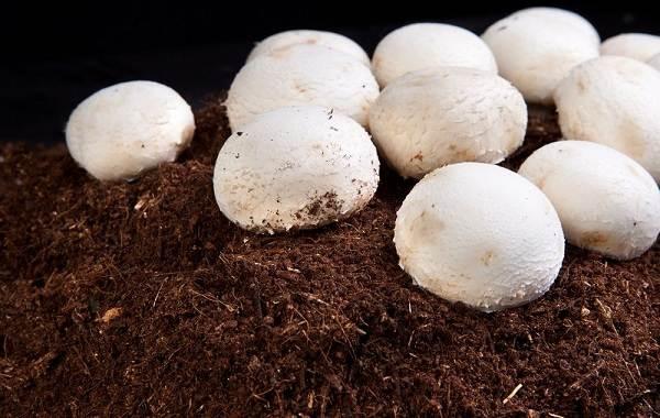 Шампиньоны-грибы-Выращивание-уход-и-полезные-свойства-8