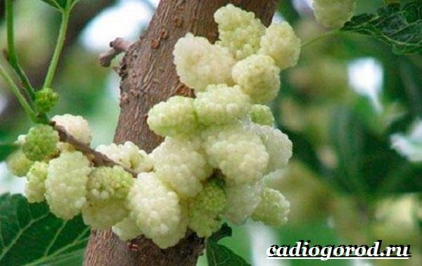 Шелковица-тутовое-дерево-Описание-особенности-виды-и-уход-за-шелковицей-1