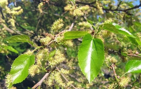 Шелковица-тутовое-дерево-Описание-особенности-виды-и-уход-за-шелковицей-20
