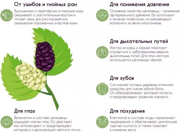 Шелковица-тутовое-дерево-Описание-особенности-виды-и-уход-за-шелковицей-21