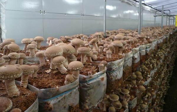 Шиитаке-грибы-Выращивание-уход-и-полезные-свойства-14