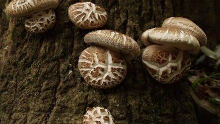 Шиитаке грибы. Выращивание, уход и полезные свойства