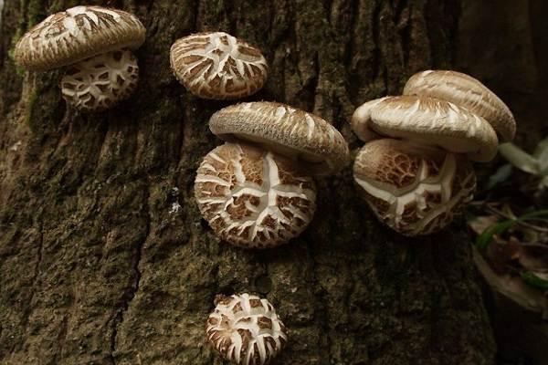Шиитаке-грибы-Выращивание-уход-и-полезные-свойства-3