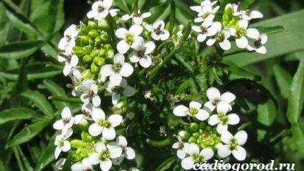 Шпинат растение. Выращивание шпината. Уход за шпинатом