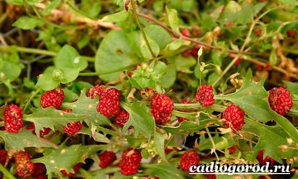 Шпинат-растение-Выращивание-шпината-Уход-за-шпинатом-3